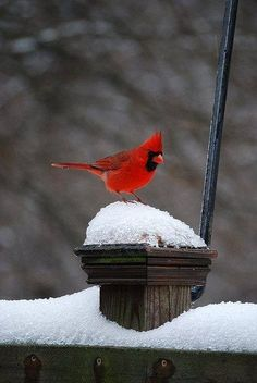 cardinal in snow (In Memory: Cam) as he called them red birds :~) Pretty Birds, Love Birds, Beautiful Birds, Animals Beautiful, Cute Animals, Vida Animal, Mundo Animal, Bear Animal, Cardinal Birds