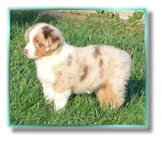 A baby Puppy! :) Red Merle Australian Shepherd