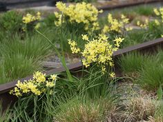 The High Line's spring landscape is characterized by bunches of colorful spring bulbs, like Hawera daffodils. The High Line's planting design is in. Spring Landscape, Landscape Design, Plant Design, Garden Design, Spring Flowers, Wild Flowers, Gravel Garden, Thing 1, Garden Bulbs
