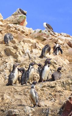 Cute penguins on Islas Ballestas, Peru --- Photo taken by Esmeralda Spiteri