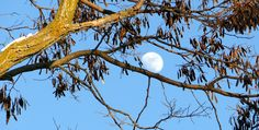 Beautiful late afternoon moon resting on a branch, just steps from lock 34 on the Trent Severn Waterway in Fenelon Falls, ON.