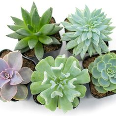 Live Succulent Plants Pack), Fully Rooted in Planter Pots with Soil - Real Live Potted Succulents / Unique Indoor Cactus Decor by Plants for Pets : Garden & Outdoor Indoor Bonsai Tree, Indoor Cactus, Indoor Plants, Succulents Online, Planting Succulents, Succulent Pots, Planter Pots, Money Trees, Home Garden Design
