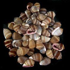 Deltona Seashells & Gifts - CASSIS NUCLEUS VIOLET LIP SHELLS (5)