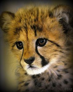 ~~kiburi ~ cheetah cub by ysaleth~~
