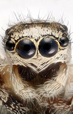Zebraspringspinne (Salticus scenicus): Die Spinne kann das Vielfache ihre...