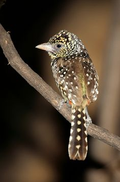 D'Arnaud's Barbet, Trachyphonus darnaudii, Lake Baringo, Kenya by aftab. on Flickr.