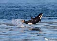 The excited young calf, named J50 by the Pacific Whale Watch Association (PWWA), was spotted swimming with her family in the Salish Sea near...