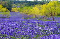 This is what Texas Bluebonnets look like in the Spring