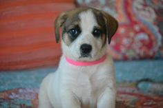 Check out Hadlee's profile on AllPaws.com and help her get adopted! Hadlee is an adorable Dog that needs a new home. https://www.allpaws.com/adopt-a-dog/australian-shepherd-mix-boxer/4665376?social_ref=pinterest