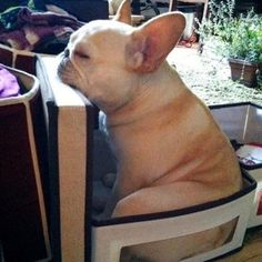 One tired French Bulldog Cute Puppies, Cute Dogs, Dogs And Puppies, Doggies, Animals And Pets, Baby Animals, Cute Animals, French Bulldog Puppies, French Bulldogs