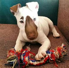 Uplifting So You Want A American Pit Bull Terrier Ideas. Fabulous So You Want A American Pit Bull Terrier Ideas. Chien Bull Terrier, Mini Bull Terriers, Miniature Bull Terrier, Bull Terrier Puppy, English Bull Terriers, Terrier Dogs, Terrier Mix, Cute Puppies, Cute Dogs