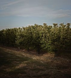 via @cal_pear: With the unofficial start of summer comes the excitement over the fact that California pears will begin harvesting in about a month!