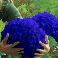 Flower seeds, Hydrangea  A variety of colors seed garden plants bonsai Fort Viburnum 30 pcs r85