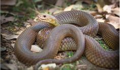 Mulga snake (Pseudechis australis) Also known as: King brown snake: 10 most dangerous snakes in Australia