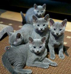 Gorgeous Russian Blue babies.❤
