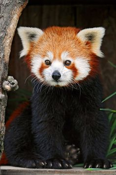 Red Panda- I bet Brendan will tell me this is another pet I can't have.