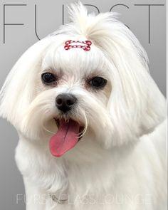 Dog Grooming Salons, Luxury Spa, Binky, Maltese, Photo Galleries, Gallery, Dogs, Animals, Animales