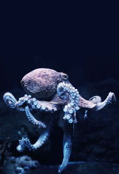 Dancing Octopus (by Sebastian Kruk) Just beautiful, saving for a sketch idea Underwater Animals, Underwater Creatures, Underwater Life, Ocean Creatures, Octopus Photography, Underwater Photography, Animal Photography, Marine Photography, Beautiful Creatures