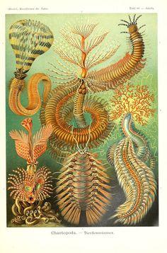 Marine annelids (Chaetopoda). Ernst Haeckel, Kunstformen der Natur (1904)…
