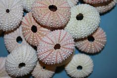 80 pcs) Pink Sea Urchins for sea urchin craft projects, free shipping, pink sea urchin ornament supplies, pink sea urchin decorations by runningtide. Explore more products on http://runningtide.etsy.com