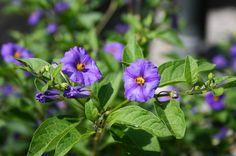 Summer Flowers Part Blue Potato Bush Purple Flowering Bush, Flowering Bushes, Summer Flowers, Blue Flowers, Blue Potatoes, Parts Of A Flower, House Colors, Perennials, Herbs