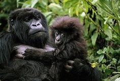 Ape Photos - A Female Mountain Gorilla And Her Child by Michael Nichols