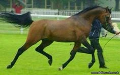Roe Laheeb.. never available for public stud Arabian stallion standing at stud UK