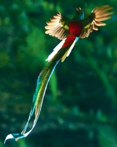 Resplendent quetzal in flight - colorful and spectacular. The Quetzal is it is becoming endangered in it's native habitat of Central America Pretty Birds, Beautiful Birds, Animals Beautiful, Exotic Birds, Colorful Birds, All Birds, Love Birds, Animals And Pets, Cute Animals