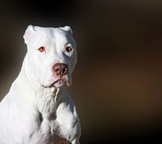 Majestic White Bully Breed Dog