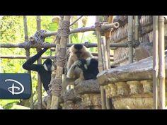 Wildlife Wednesdays: White-Cheeked Gibbons Sing Love Song at Disney's Animal Kingdom | Disney Parks