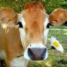cute cow holding a big flower in her mouth