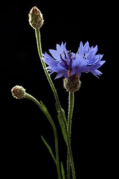 Blue cornflower or bachelor buttons - wildflower photography by Vendenis. Purple Flowers, Wild Flowers, Beautiful Flowers, Arrangements Ikebana, Black Backgrounds, Flower Art, Corn Flower, Flower Power, Planting Flowers
