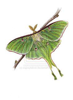 luna moth art | Luna Moth by ospreyfalcon