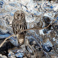 Barred Owl Art Bird Of Prey Blue Tan Textured by GrayWolfGallery