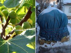 A füge téli takarása: tények és tévhitek