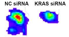 Novel siRNA form successfully targets KRAS, a well-studied but hard to halt protein important for cancer development and metastasis