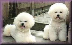 Bichon frise Zucht Welpen züchter Honey Dreams