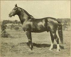 USGMHF, Weybridge, Vt, Scotland, breeding stallion, 6000, 15.2, chestnut, white stripe on face, 2 white hind socks, foaled 25 JUN 1906, sired by General Gates, No. 666 (1894), out of Dam Highland Mary No. 01033 (1893). Sired 34 foals on record: Gelding 1, Mare 23, Stallion 10. black 3, brown 1, chestnut 27. Sire General Gates, No. 666 (1894), Dam Highland Mary No. 01033 (1893). A Morgan horse of very elegant proportions and pure trotting action. Went to US Army Remount Service in 1922.