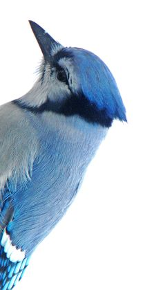 Blue jay's are my favorite bird, just beautiful!