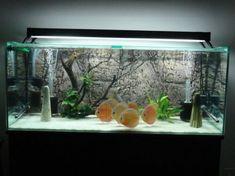 Pin By Wendyliz Matta On Fish Tanks Discus Fish Discus Aquarium