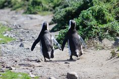Penguin in Love - South Africa