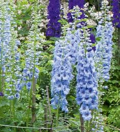 Delphinium 'Summer Skies' has bright sky blue spires, beautiful brightness mixed in with a jumble of the deeper, richer colours, in the garden and a vase. Flower Garden, Biennial Plants, Delphinium, Plants, Magic Fountain, Annual Plants, Trees To Plant, Flowers, Flower Seeds
