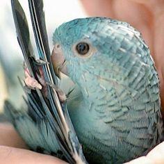 Barred Parakeet - Instagram / mdig155