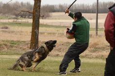 #GermanShepherd, #Schutzhund, #GSD