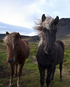 explore-nature:    Wild Horses by barfastic on Flickr.  Wild Horses in Iceland.