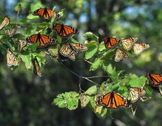Monarch migration - Point Pelee, Southern Ontario