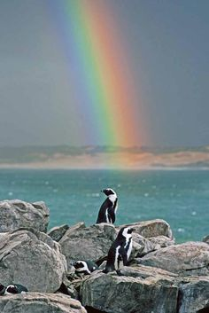 the African penguin is one of several penguins that are not found around the Antarctic, where the animals are traditionally associated.