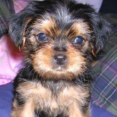 Shorkie puppy! :)