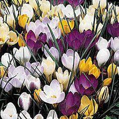 Premium Holland Bulbs, Flower Bulbs, Daylilies, Daffodils, Dahlias, Perennials, Tulip Bulbs, Garden Plants, Peonies and more - Brecks.com#