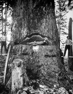 Three men take a photo break from felling a large fir tree in Washington with axes and a crosscut saw in 1906. A man stands on each side while one 'relaxes' in the wedge of the tree.